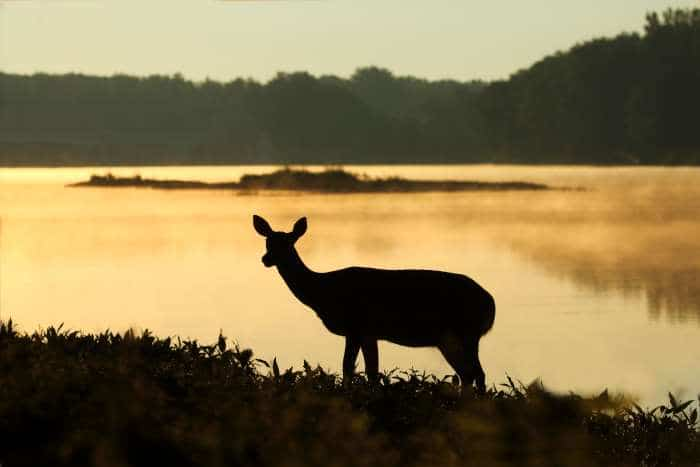 A female deer (or a decoy?) in silhouette in front of a lake