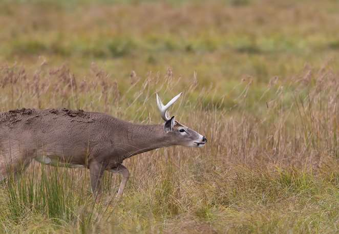 A white-tailed deer sniffing the air
